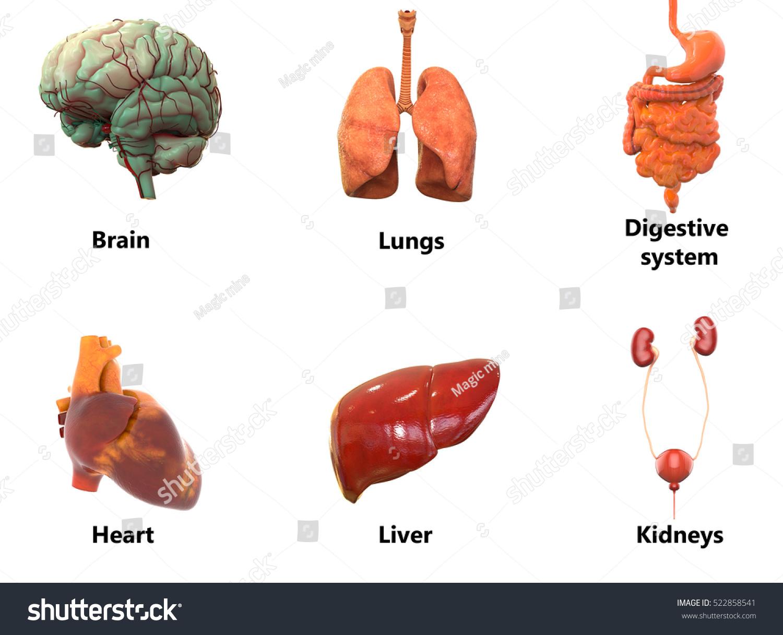 Human Body Organs Anatomy Brain Lungs Digestive Stock Illustration