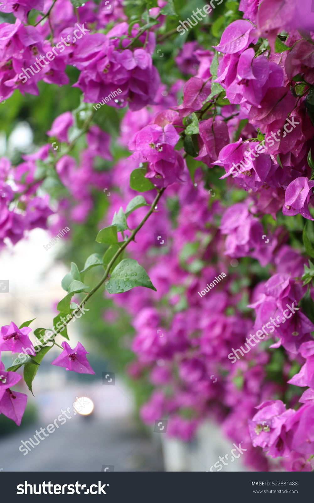 Bougainvillea Beautiful Flowers With The Raindrops Near The Street