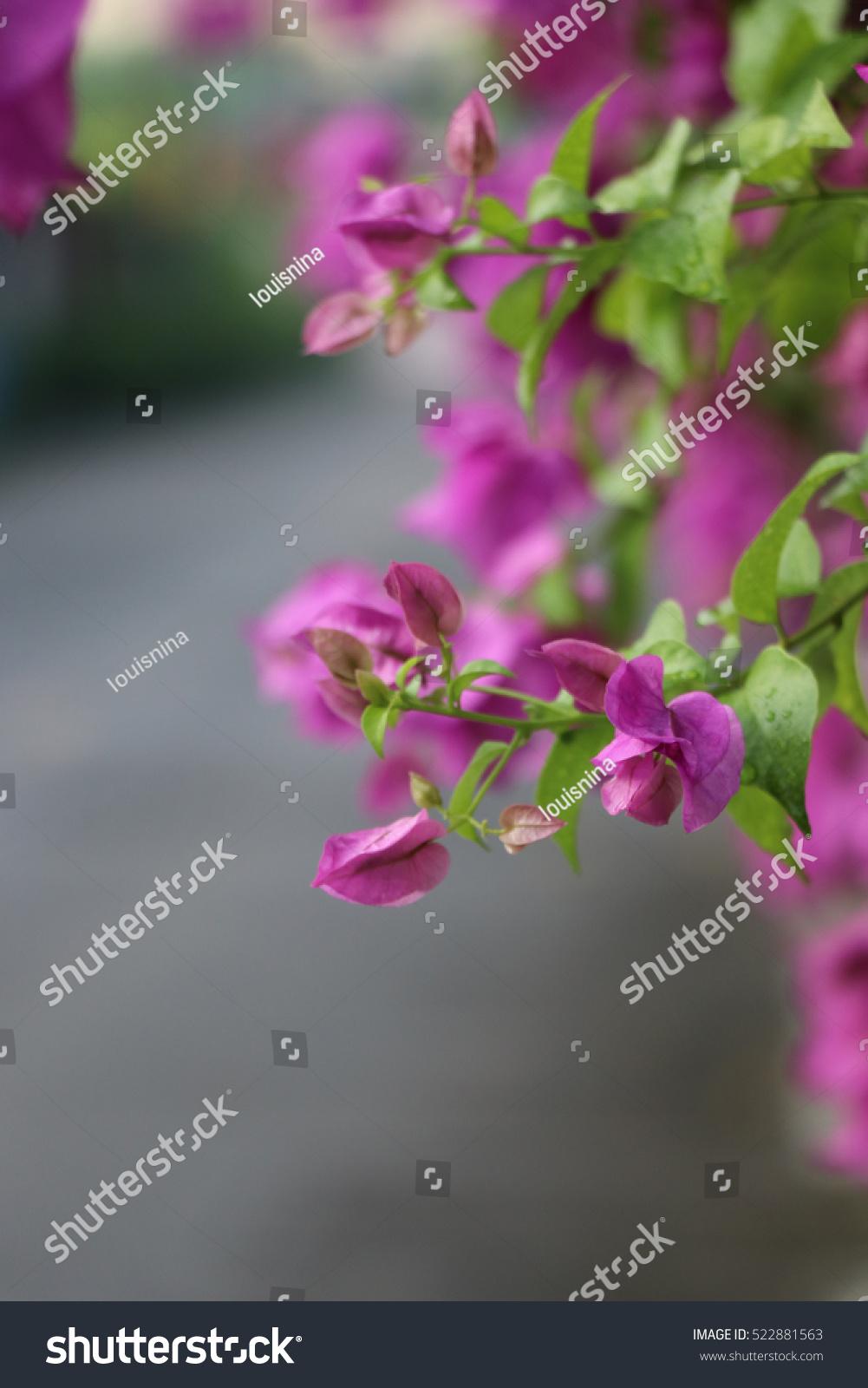 Bougainvillea Beautiful Flowers Raindrops Near Street Stock Photo