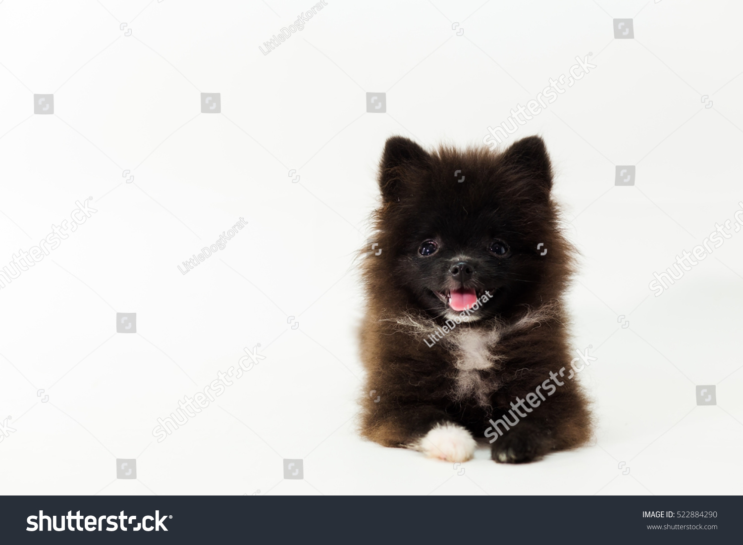 Black Pomeranian Dog Isolated On White Background Cute Pet In Home