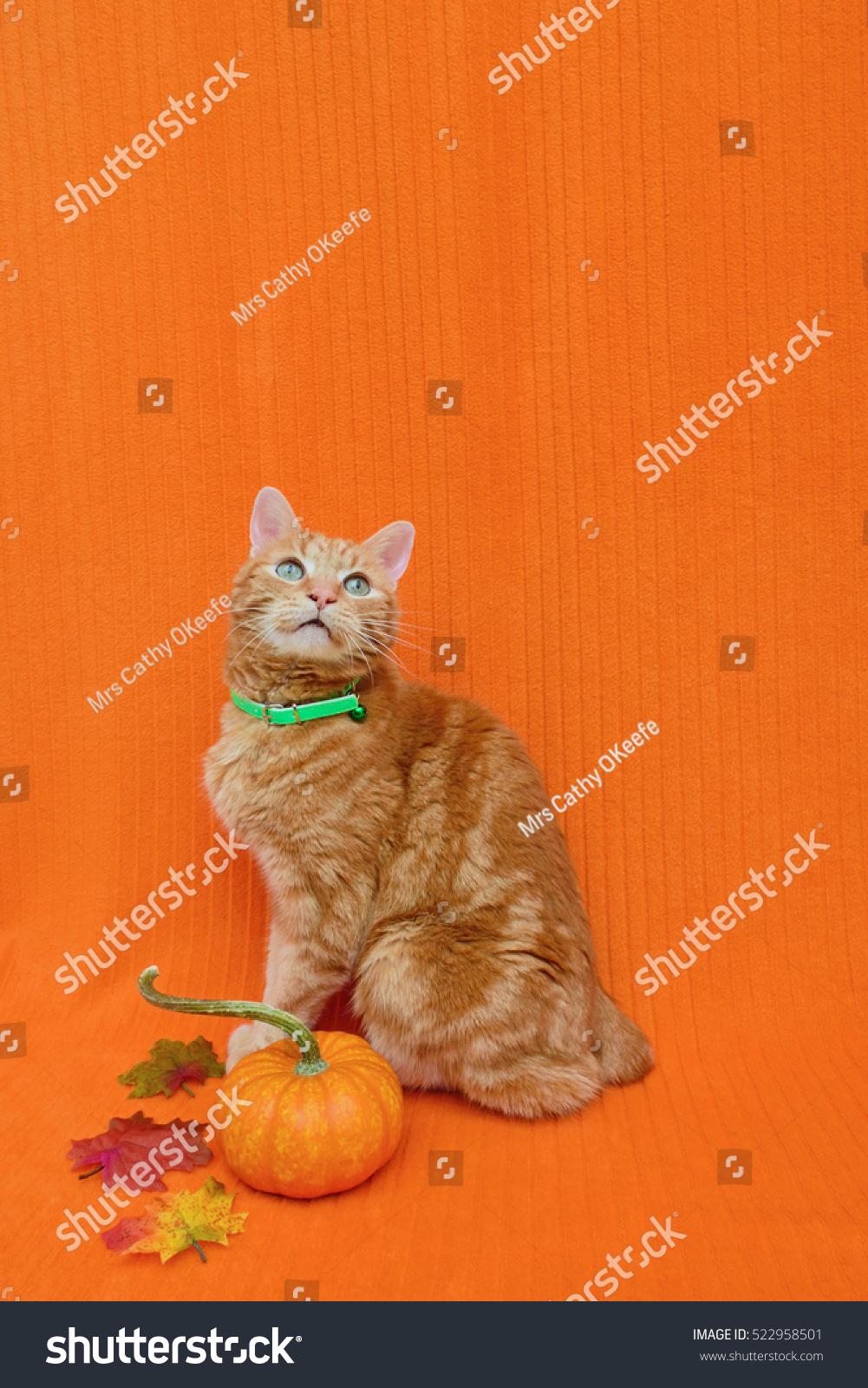 halloween thanksgiving pet theme cat has stock photo (edit now