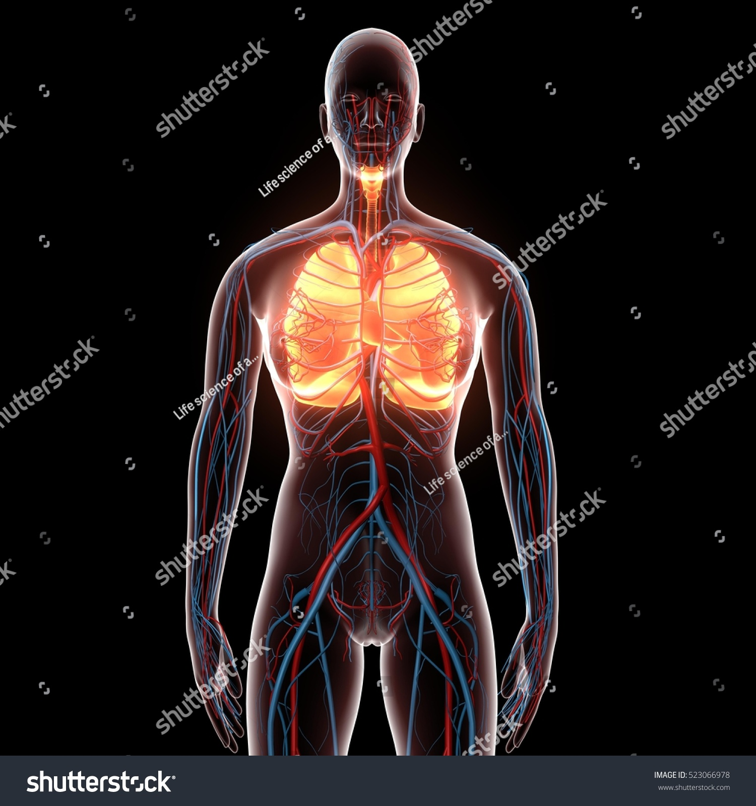 3 D Illustration Female Body Organs Skeleton Stock Illustration