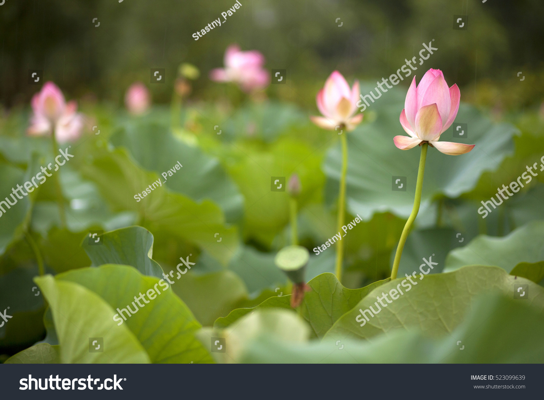 Beautiful Lotus Flower Bloom Lotus Flowers Stock Photo Edit Now