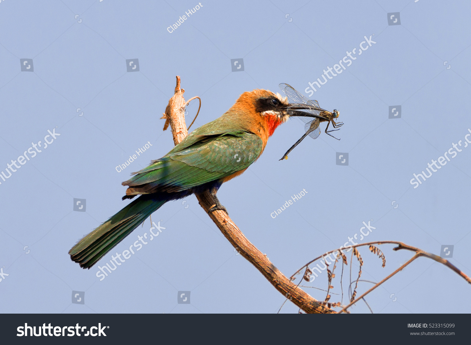 White-fronted bee-eater (Merops bullockoides) perched on a branch with a dragonfly in its beak near the Kwando river in the Caprivi Strip, Namibia