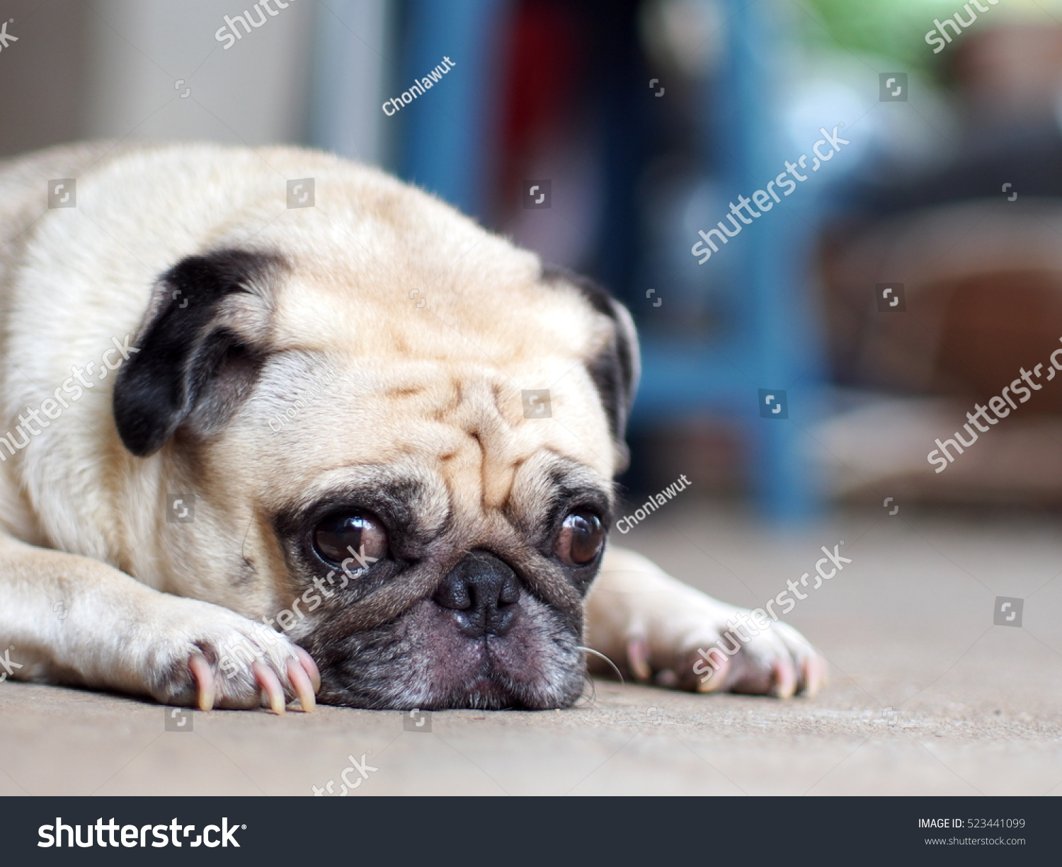 Portraits photo of a lovely white fat cute pug dog laying flat on grey color concrete