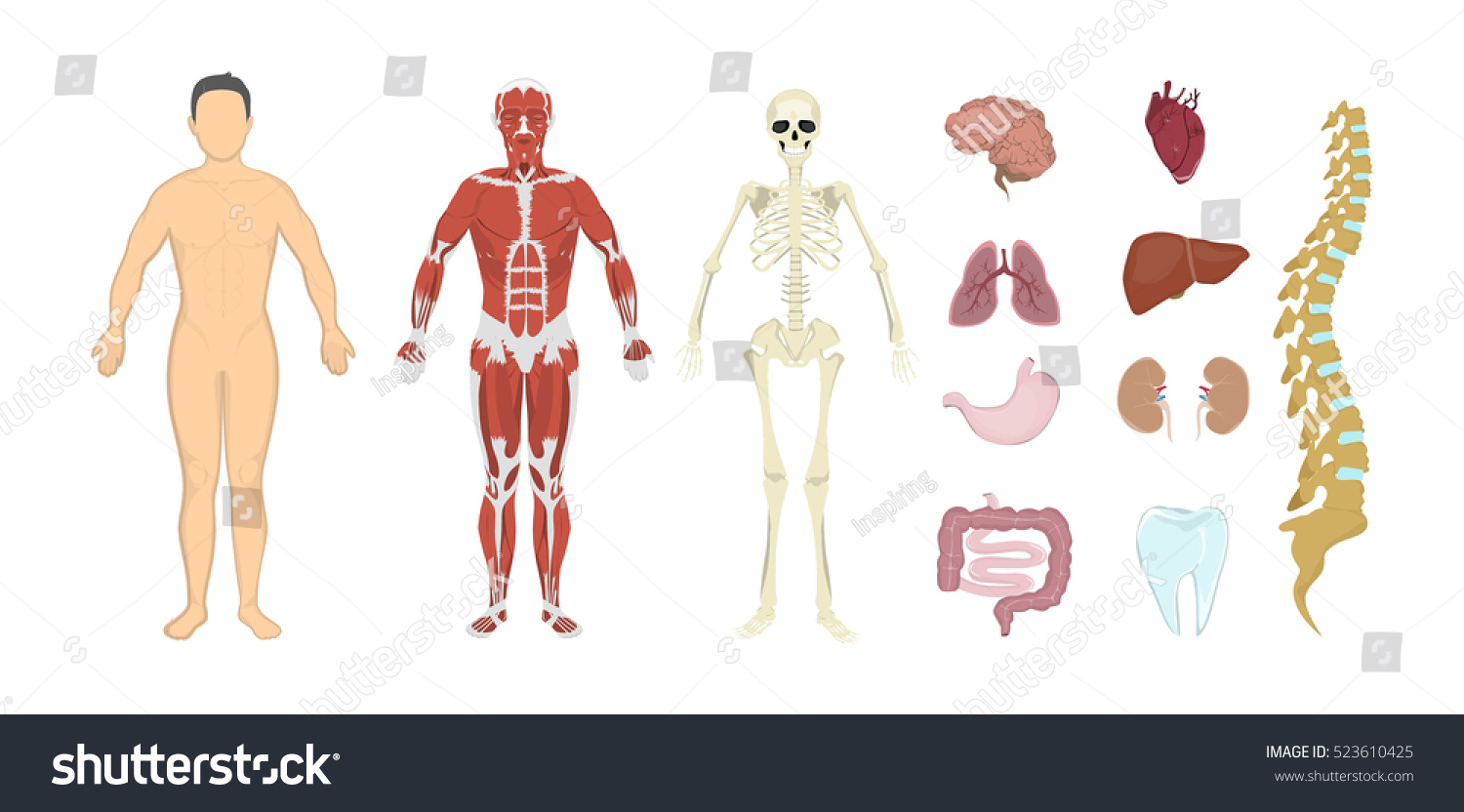 Royalty Free Stock Illustration Of Whole Human Anatomy All Human