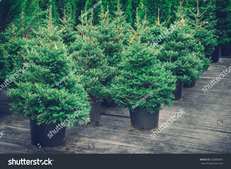Christmas Trees Pots Sale Retro Toned Stock Photo
