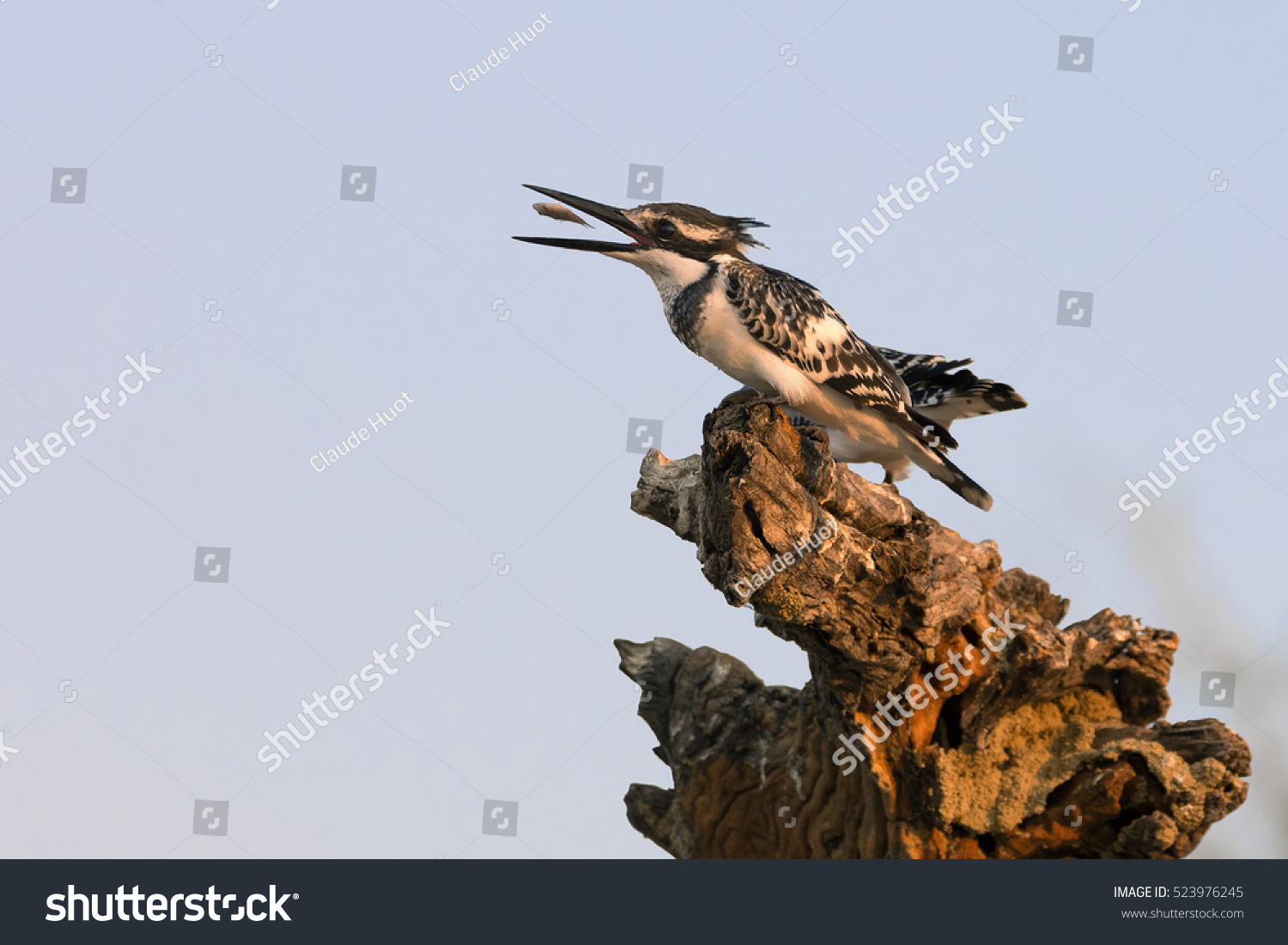Pied kingfisher (Ceryle rudis) flips a minnow in its beak for better swallowing in the golden light just before sunset near the river in the Chobe National Park, Botswana.