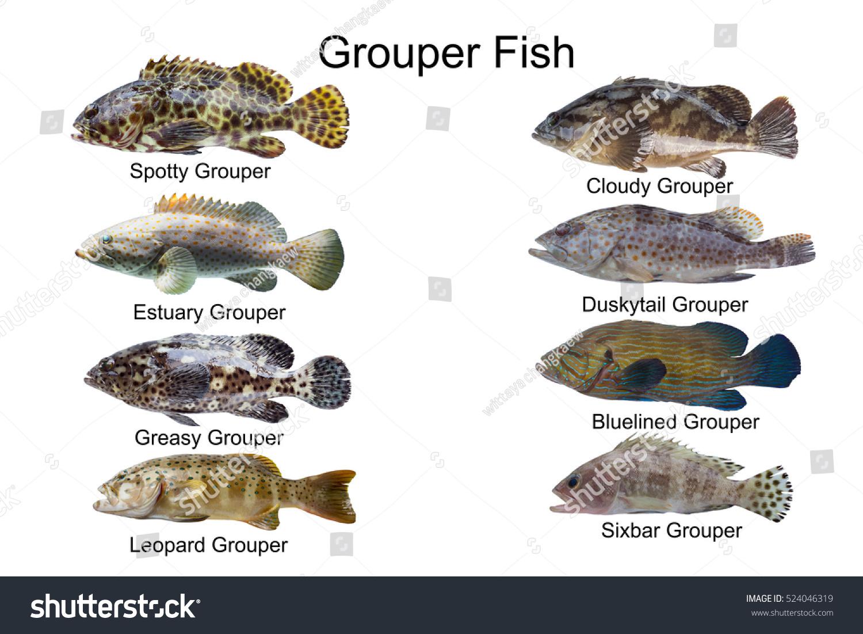 Grouper fish setmarine fish typesfish collection stock for White fish types