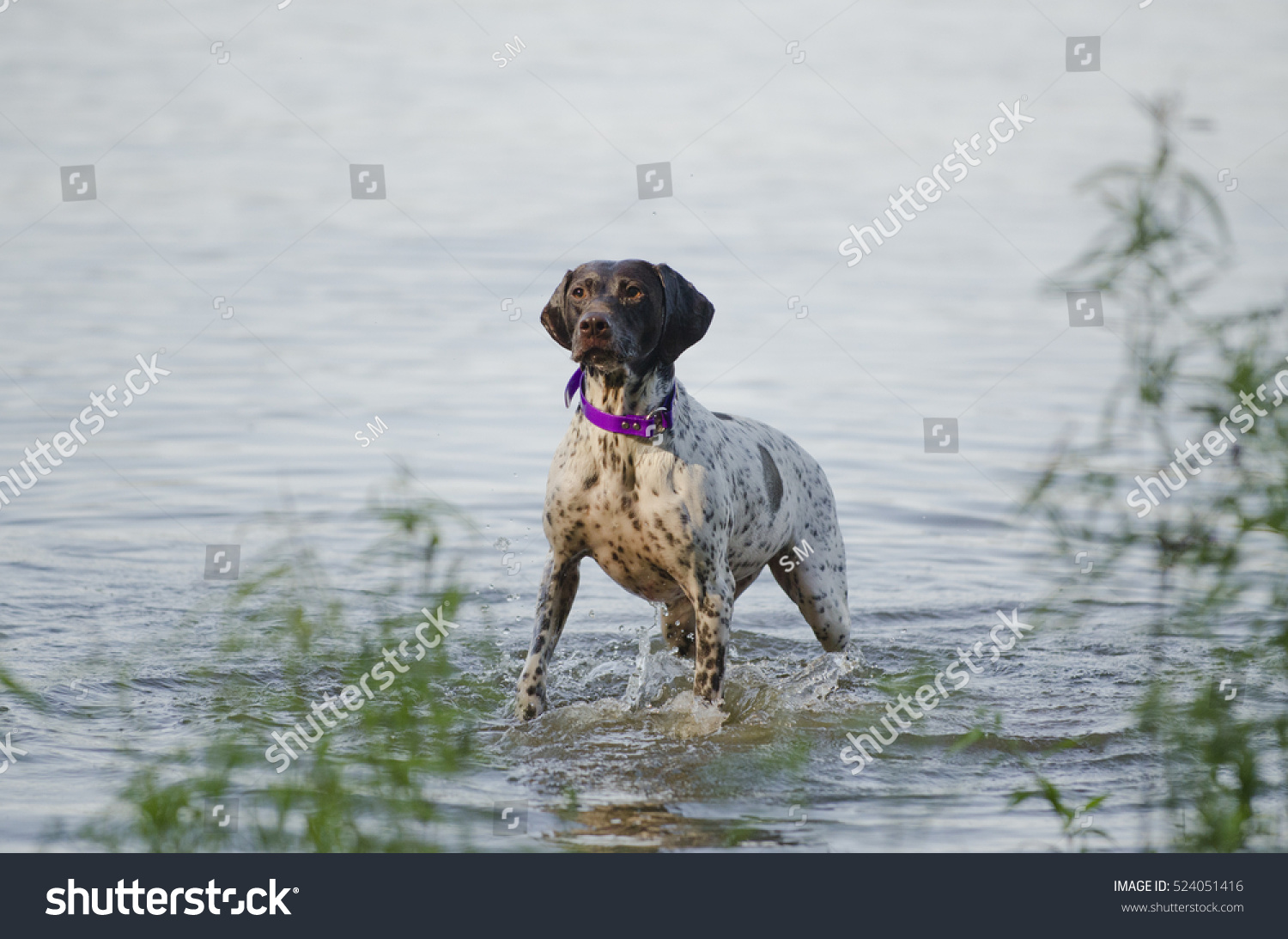 German Shorthaired Pointer Water Stock Photo (Royalty Free ...