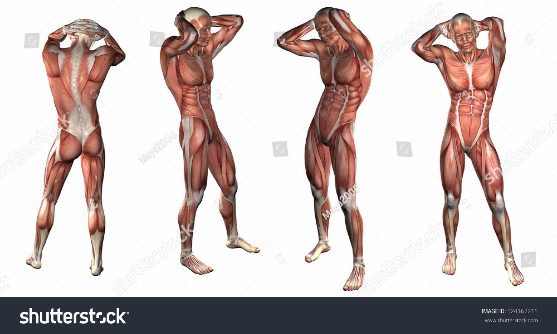 3 D Rendering Illustration Muscular System Stock Illustration