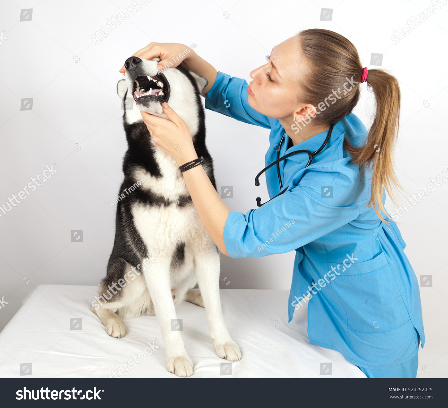 Veterinary Doctor Examines Dog Teeth Siberian Stock Photo Edit Now