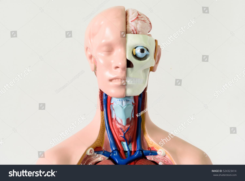 Upper Human Body Anatomy Model On Stock Photo Edit Now 524323414