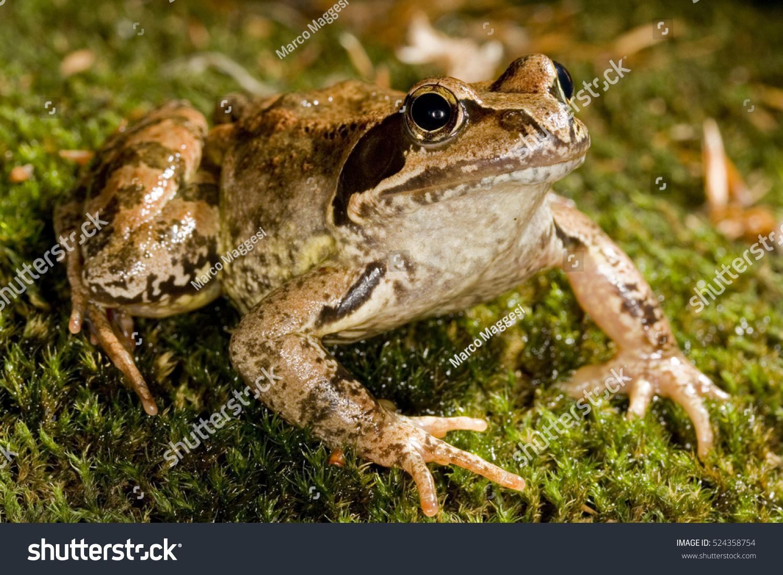 European Common Frog European Common Brown Stock Photo (Royalty Free ...