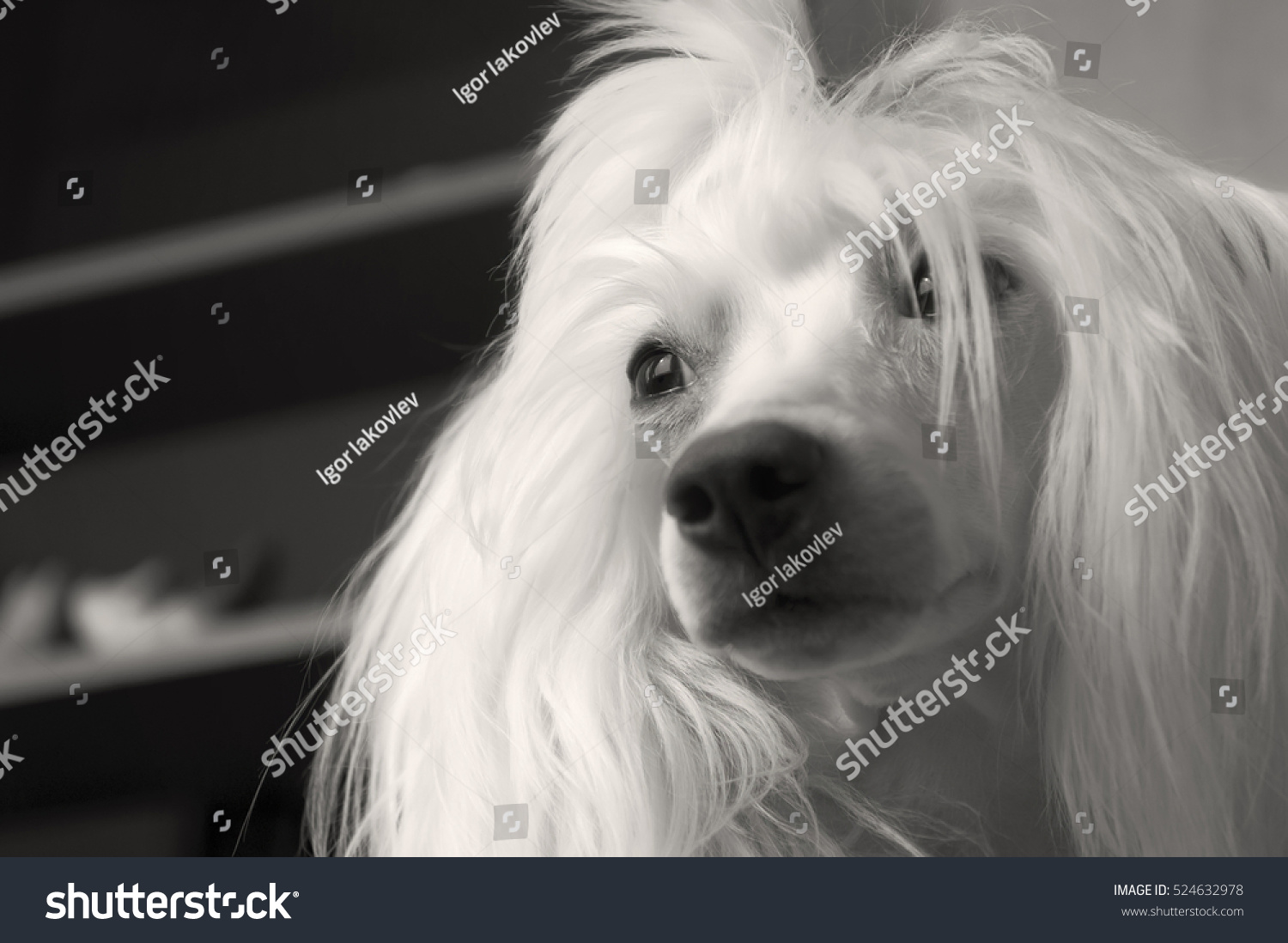 Chinese Crested Dog Hair 5 Years Stock Photo Image Royalty Free