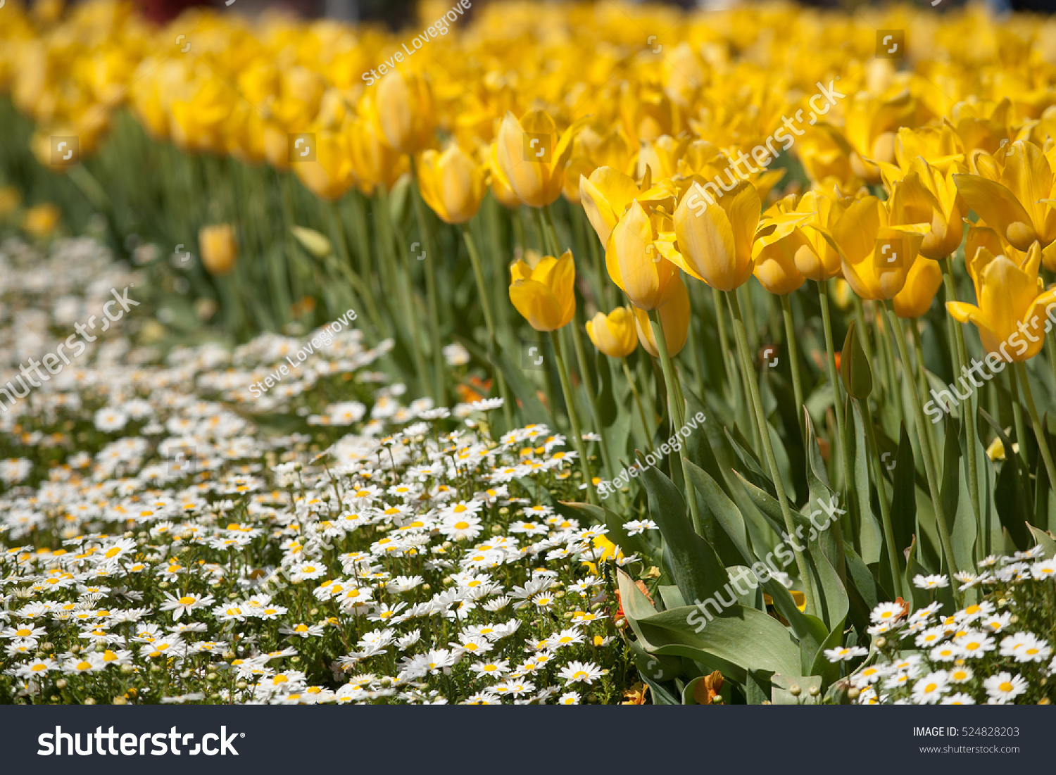 Yellow Tulip Flowers Full Bloom Annual Stock Photo Royalty Free