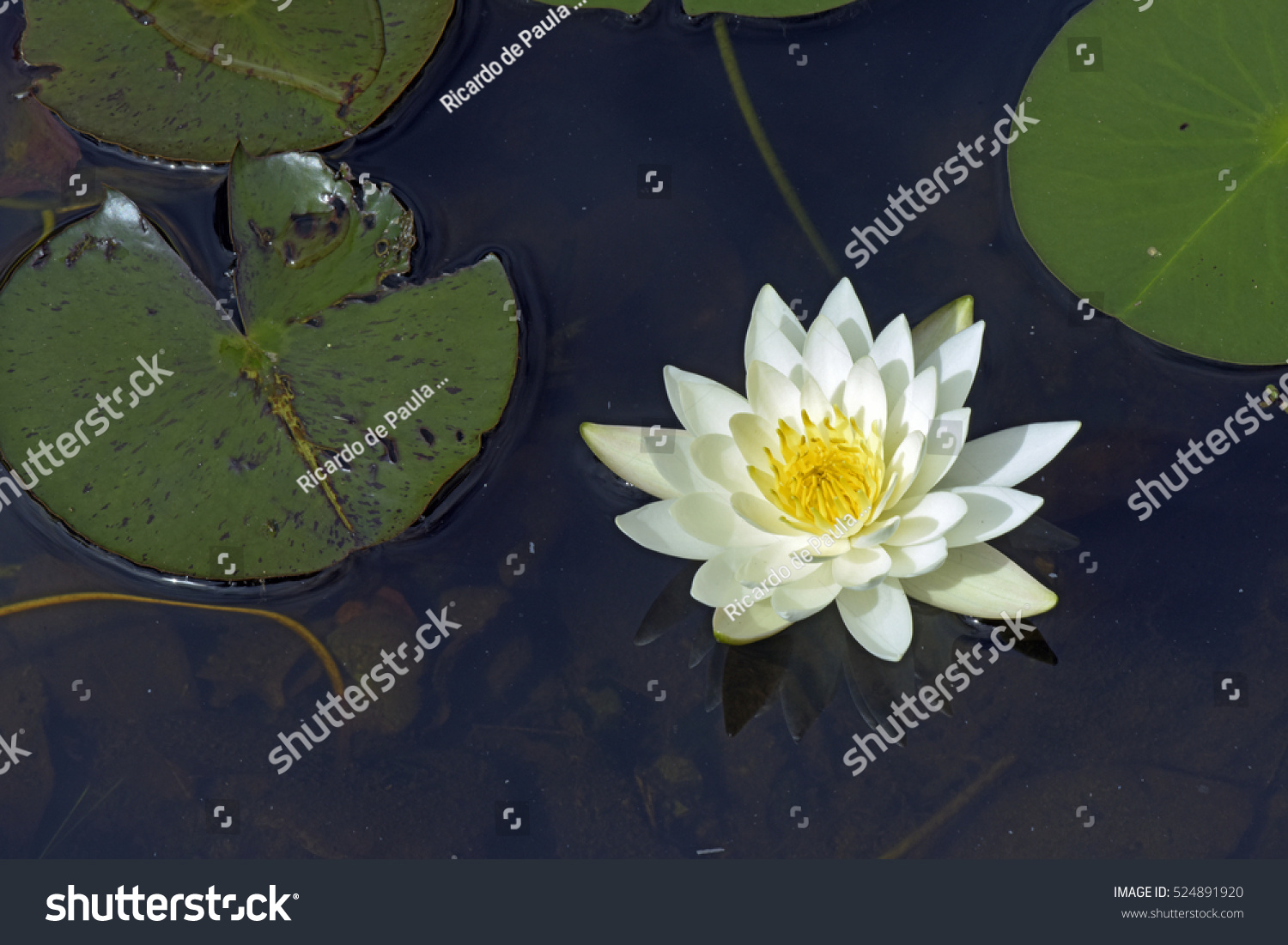 Yellow Water Lily Mexican Waterlily Nymphaea Stock Photo Royalty