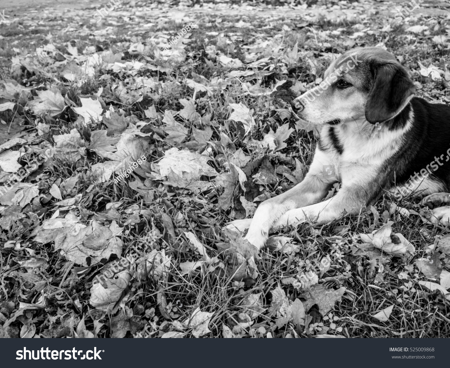 stock-photo-spotted-dog-lying-with-crossed-legs-in-the-fallen-leaves-black-and-white-525009868