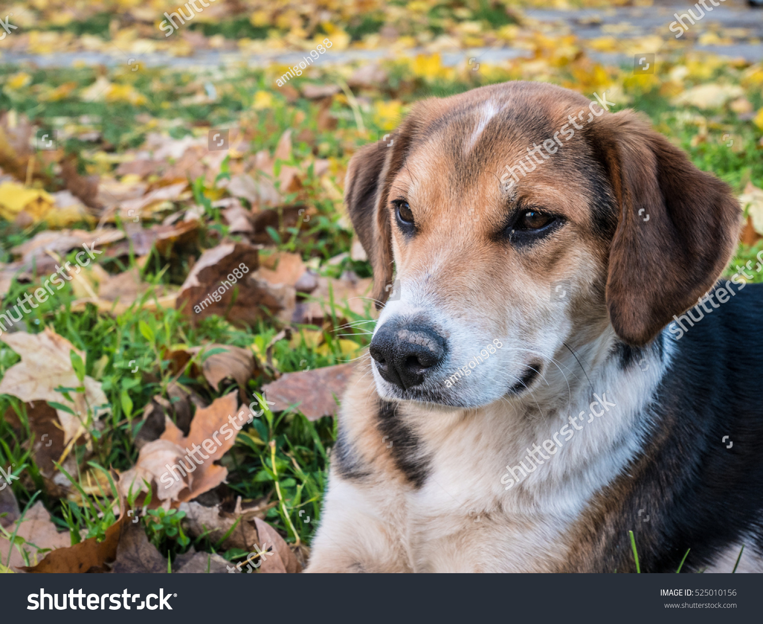 stock-photo-spotted-dog-looking-left-thoughtfully-in-the-fallen-leaves-525010156