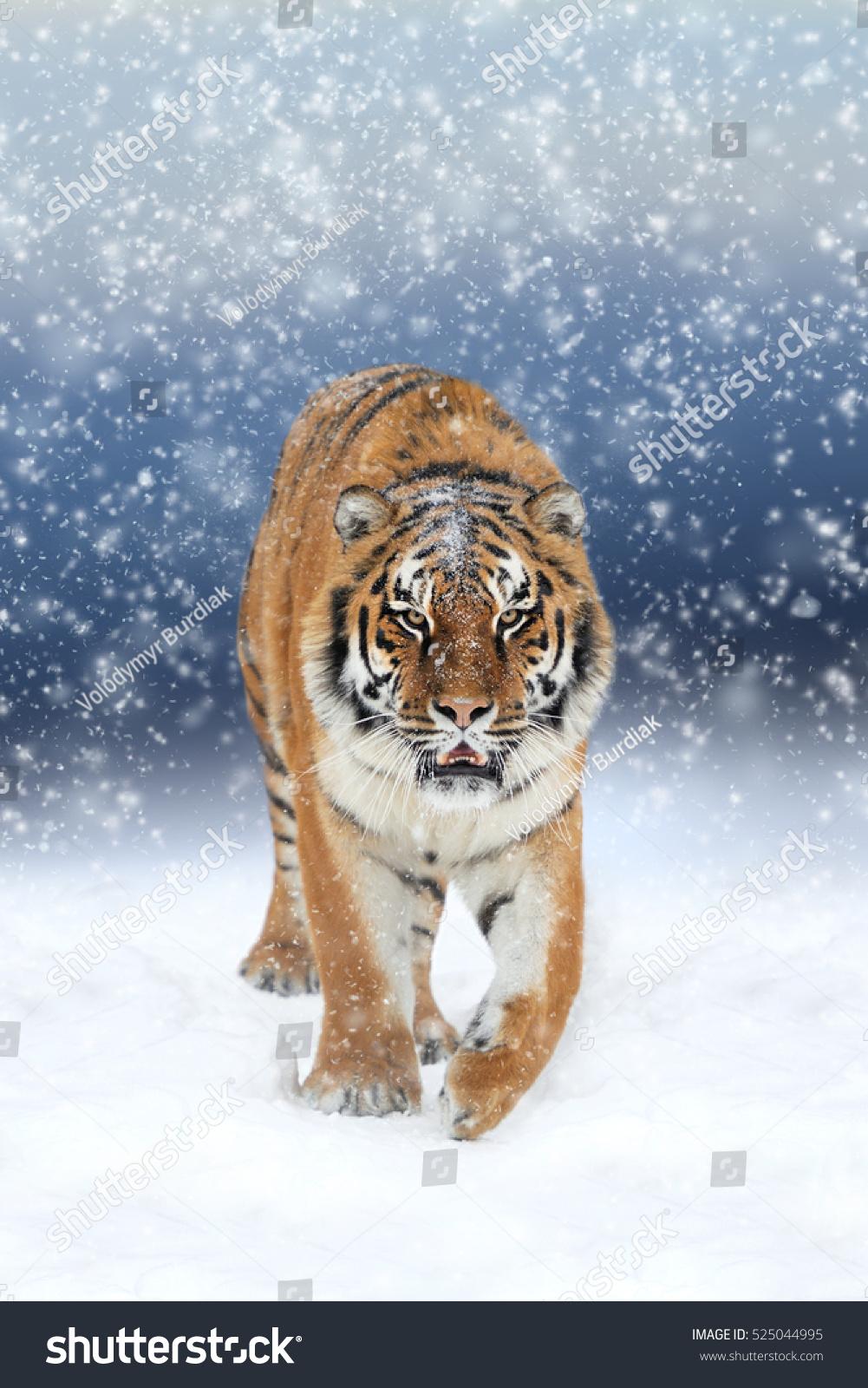tiger wild snow - photo #23