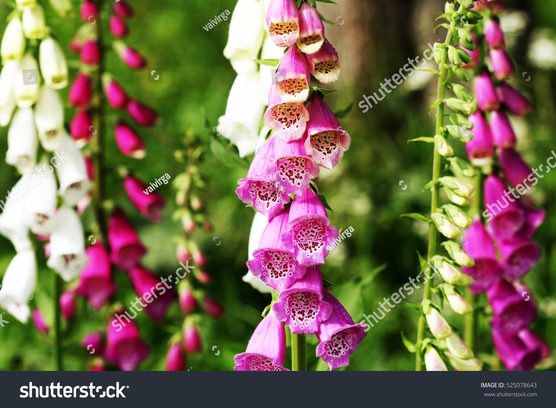 Pink Foxglove Flowers Digitalis Stock Photo Royalty Free 525078643