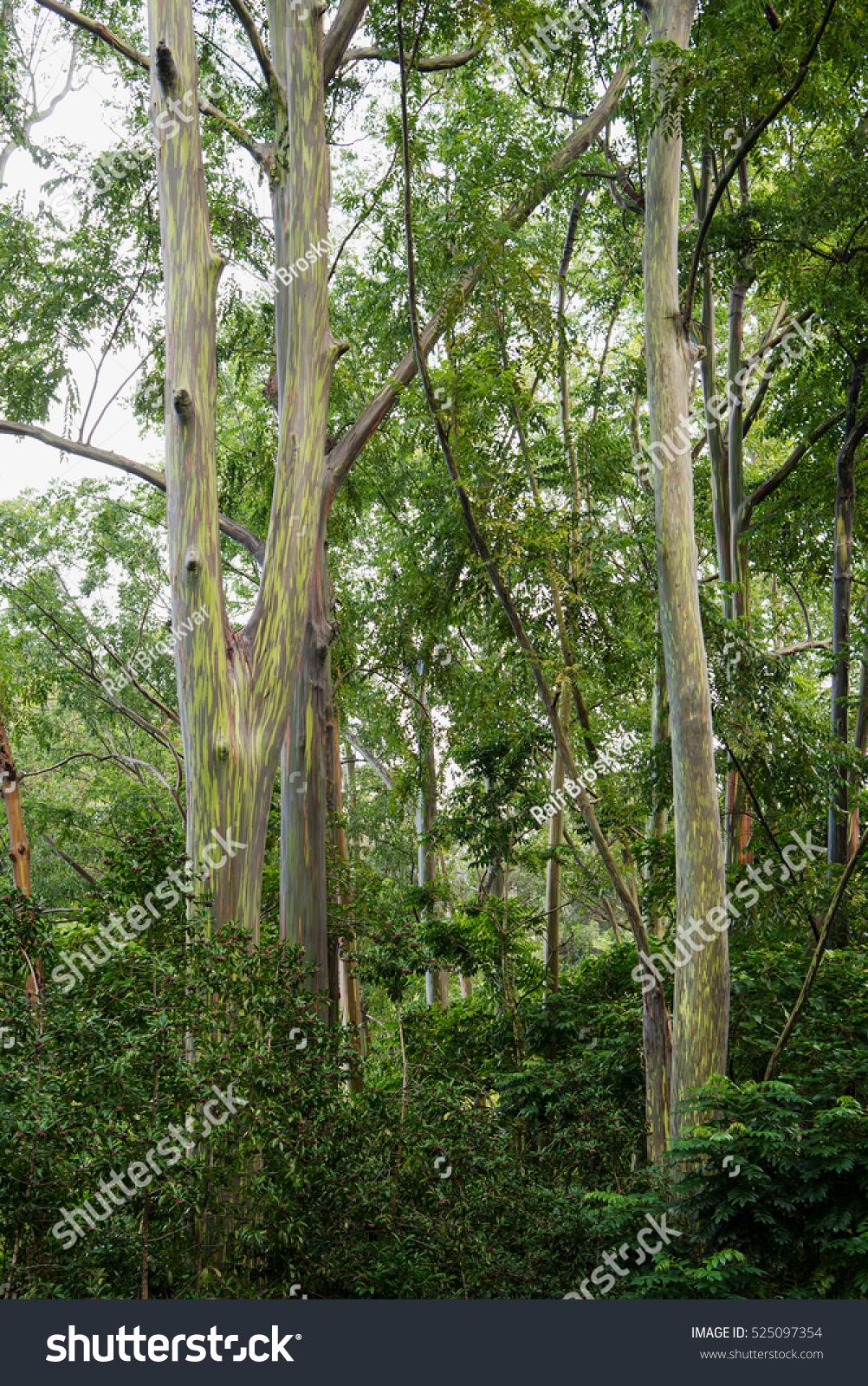 Rainbow Eucalyptus Eucalyptus Deglupta Seen On Stock Photo (Edit Now ...