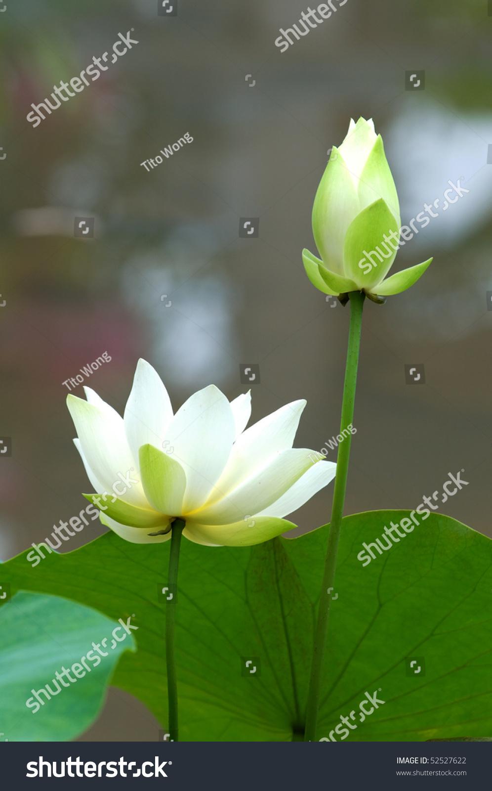 Close blooming white lotus flower stock photo royalty free close up of blooming white lotus flower izmirmasajfo