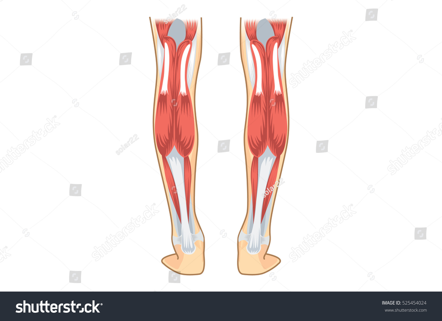 Calf Muscle Human Illustration About Human Stock Vector Hd Royalty