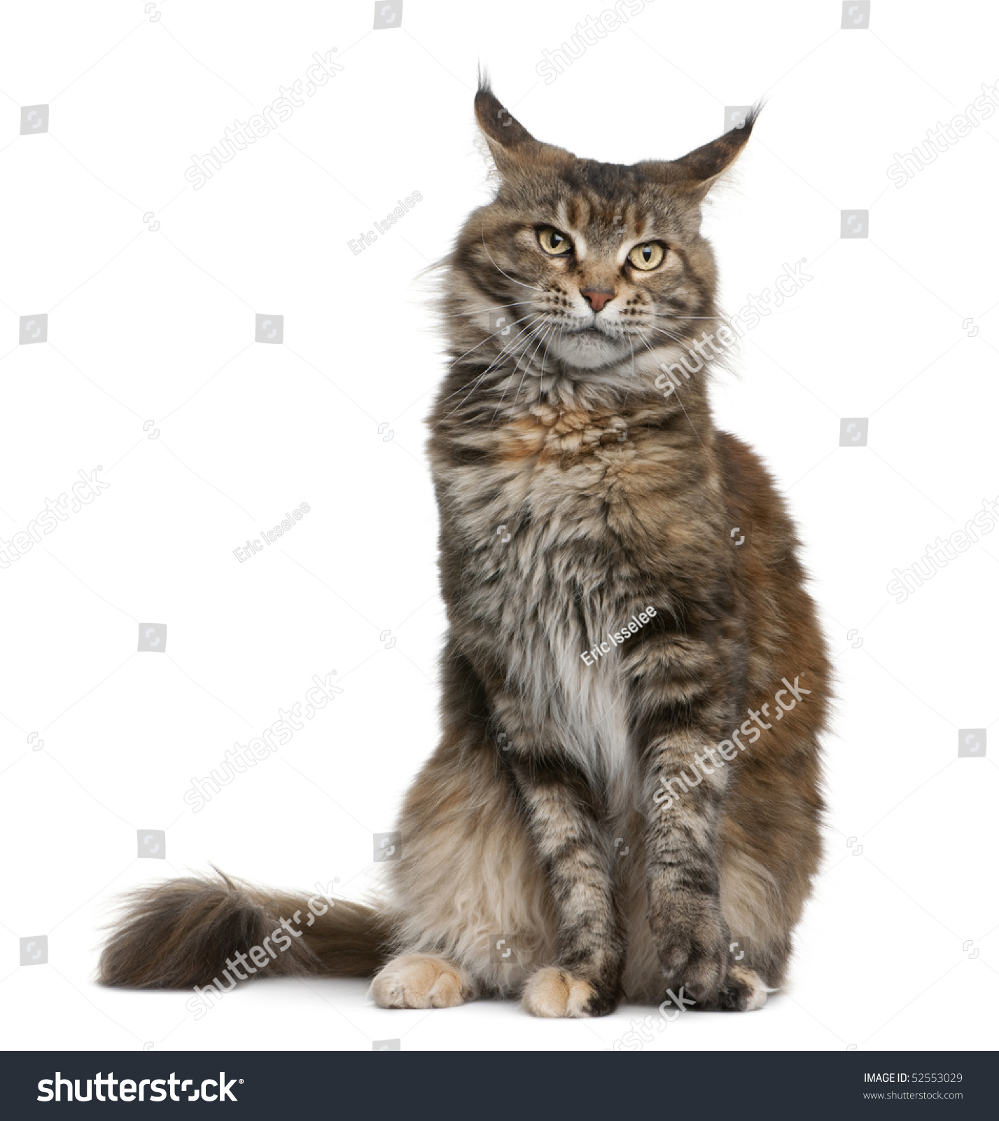 Maine coon 3 years old