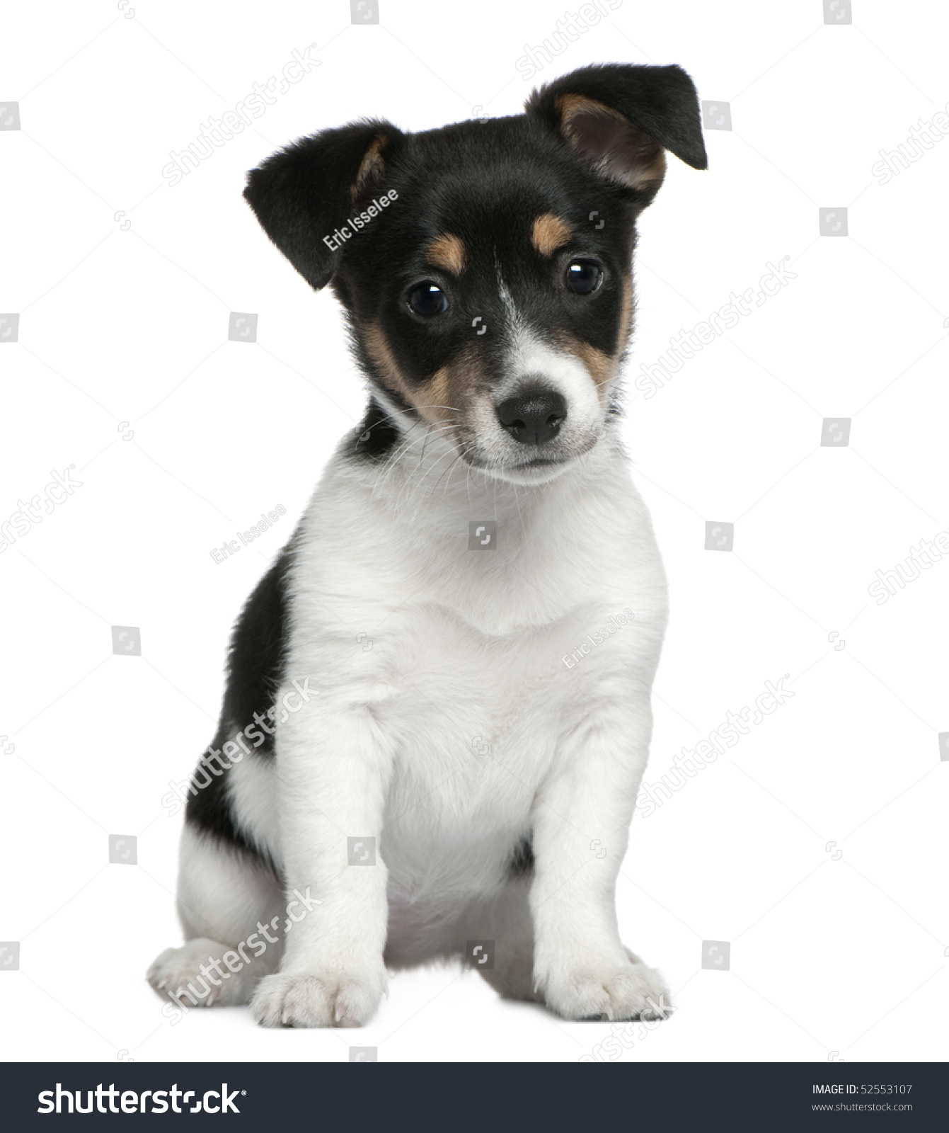 jack russell terrier black and white - photo #44