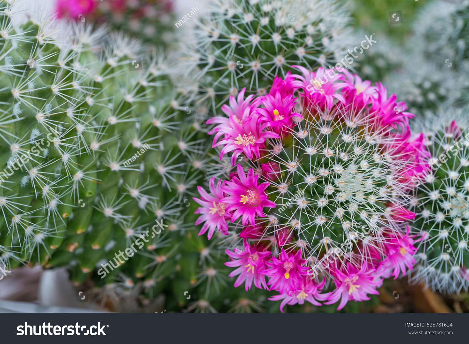 Pink Cactus Flowers And White Cactus Spines On Green Cactus