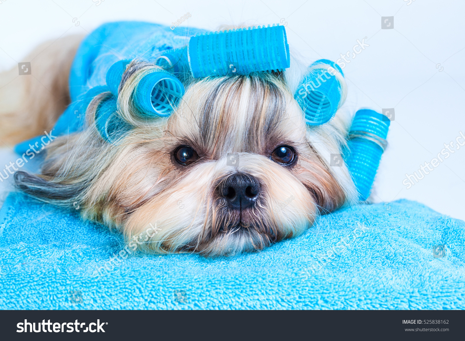 Shih Tzu Dog Hair Style Curlers Stock Photo Edit Now 525838162