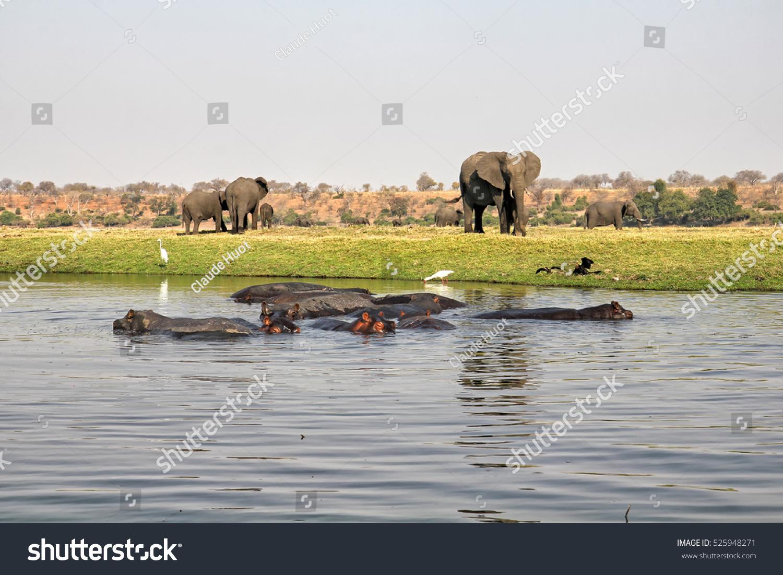 Herd of elephants (Loxodonta africana) and hippos (Hippopotamus amphibius) at the Chobe river in Chobe National Park, Botswana