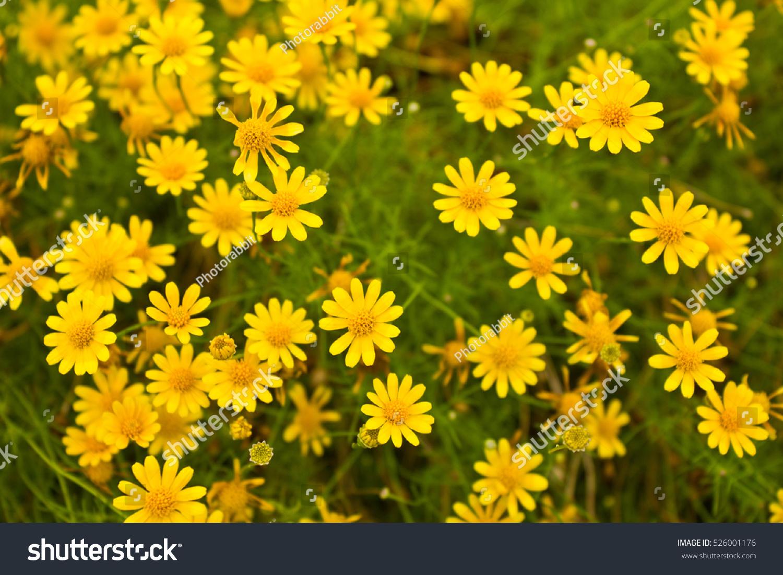 Yellow Daisy Flowers Stock Photo Edit Now 526001176 Shutterstock