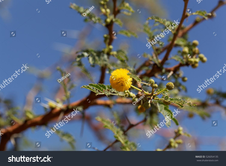 Yellow Flowers Red Acacia Tree Acacia Stock Photo Edit Now