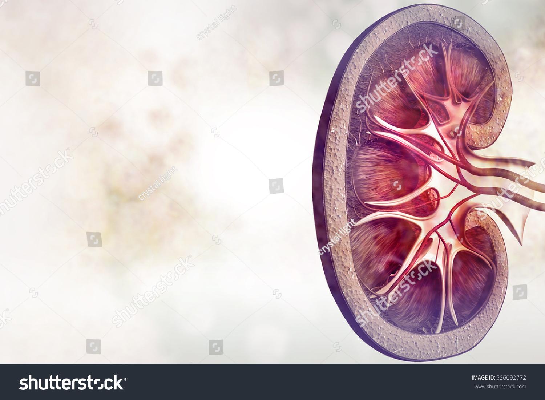 Human Kidney Cross Section On Scientific Stock Illustration ...