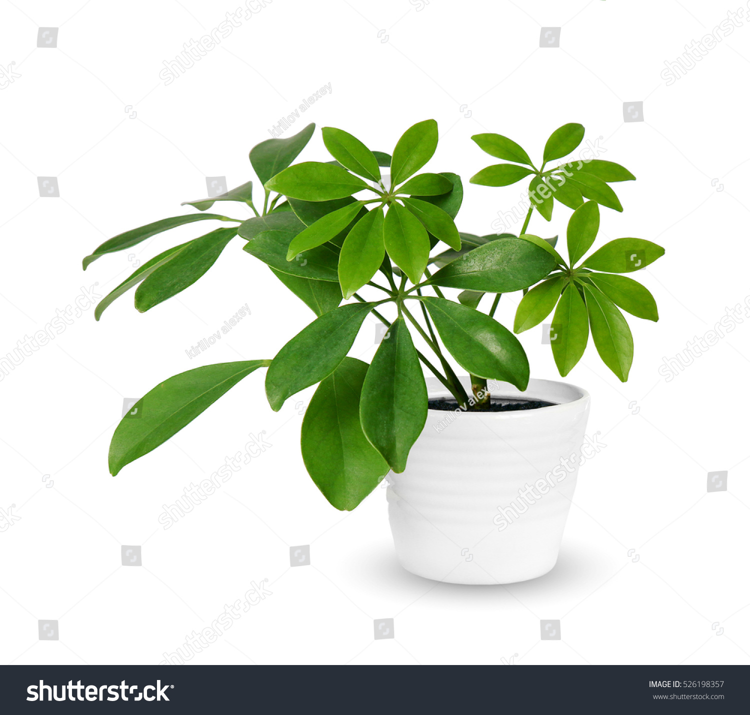 young Schefflera a potted plant isolated over white #526198357