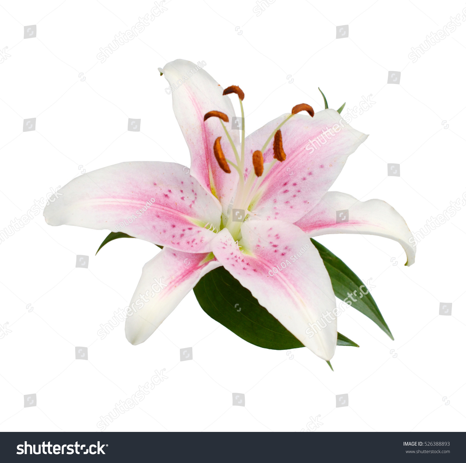 Pink stargazer lily on white stock photo edit now 526388893 pink stargazer lily on white mightylinksfo