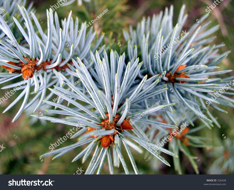 Blue Spruce Needles