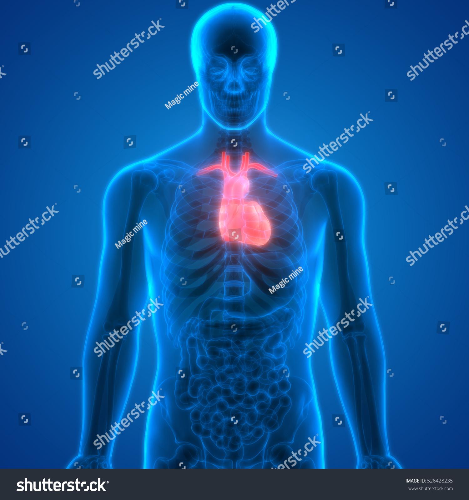 Human Body Organs (Heart Anatomy). 3D | EZ Canvas
