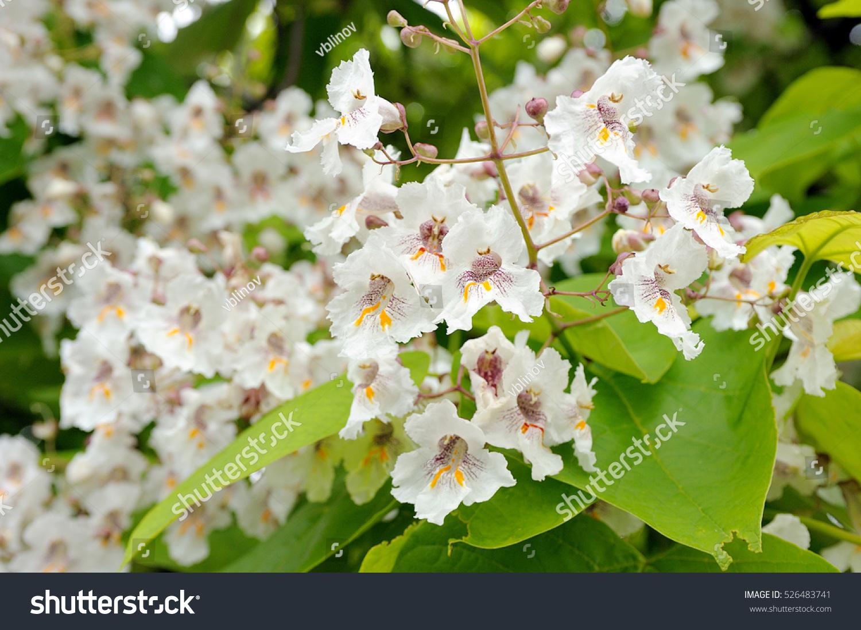 Tree Large White Flowers Catalpa Bignonioides Stock Photo Edit Now