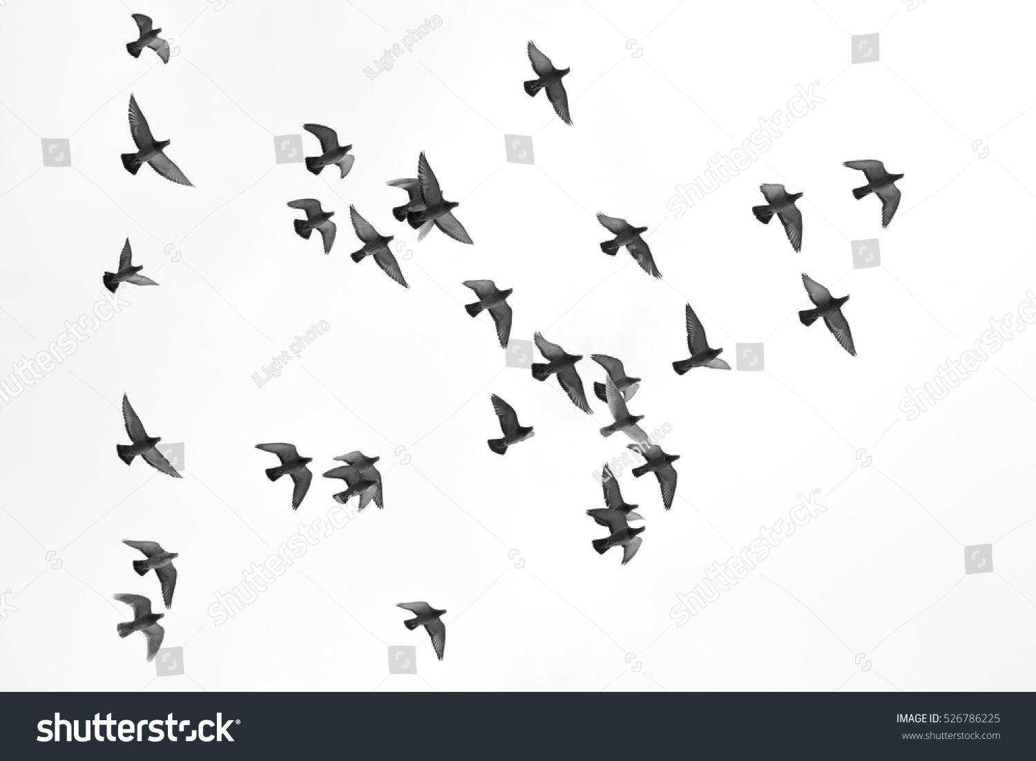 Many pigeons birds flying in the sky Black and white