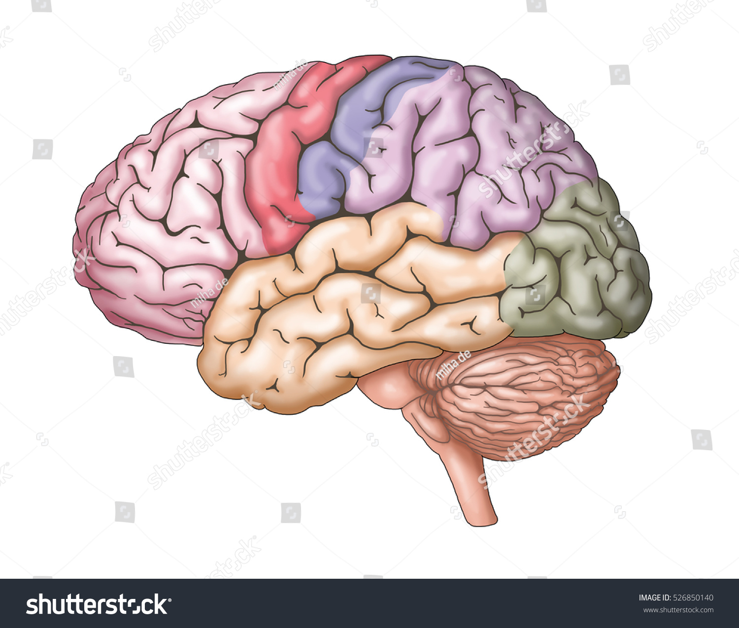 Human Brain Anatomy Structure Illustration Stock Illustration ...