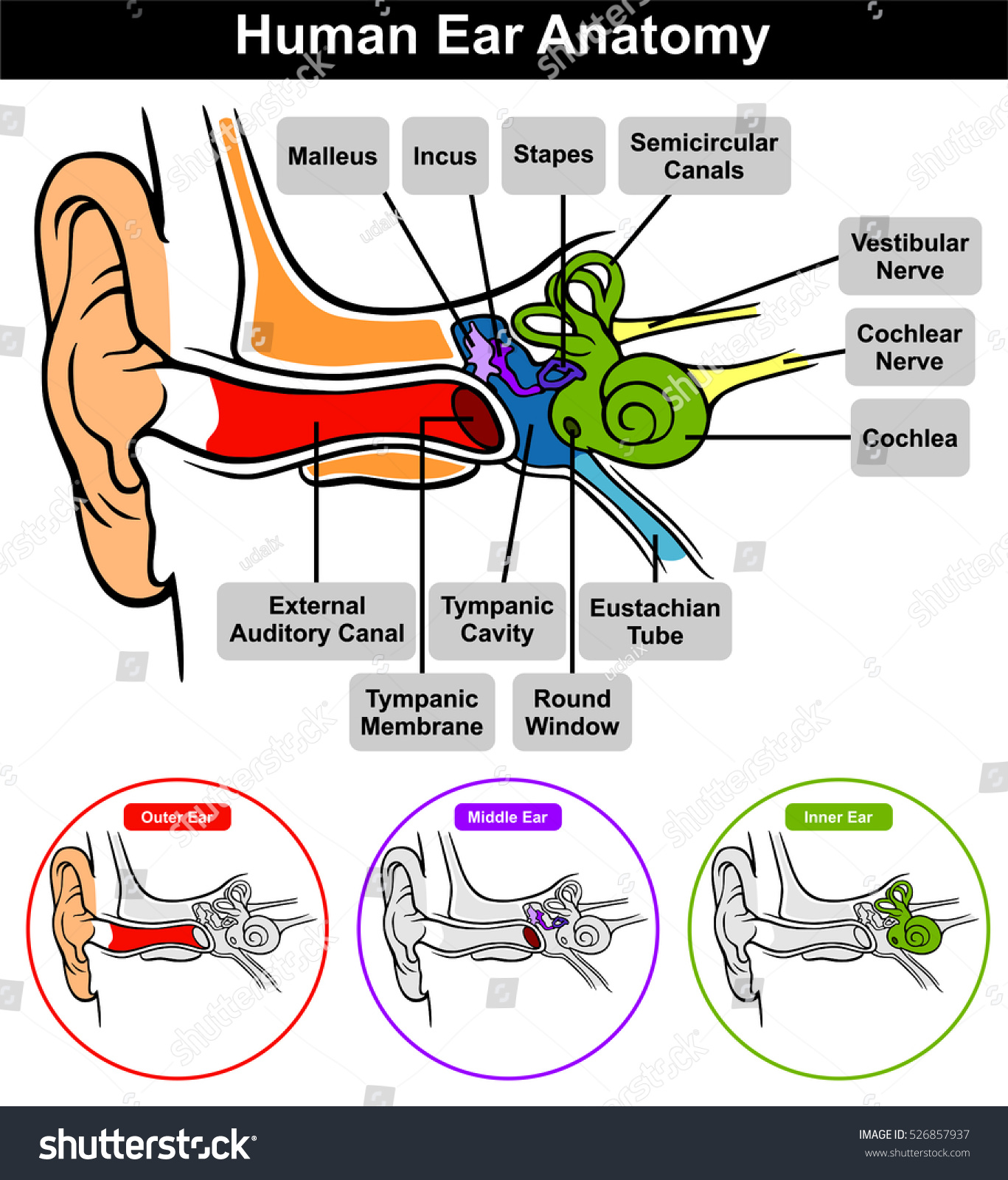 Vector Human Ear Anatomy Classification Outer Stock Vector Royalty