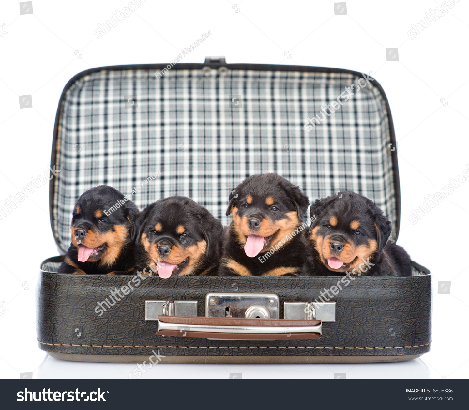 Group of puppies Rottweiler in the bag isolated on white background