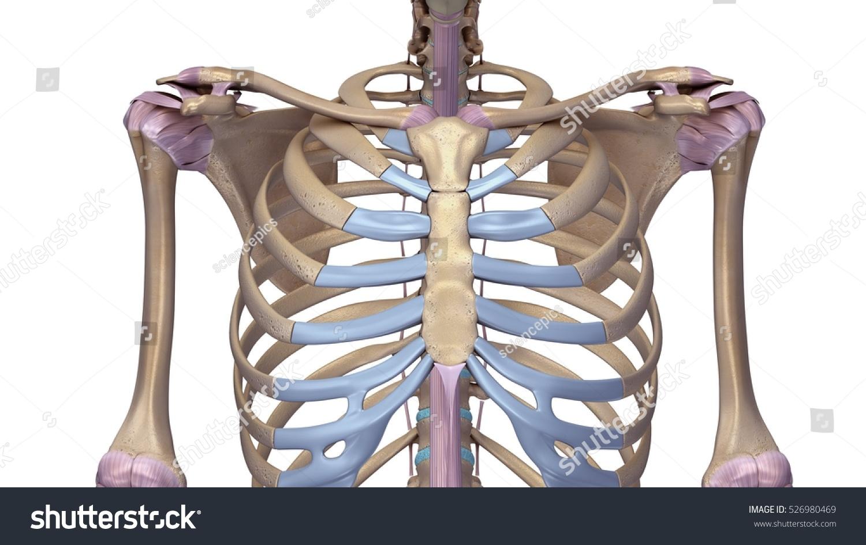 Skeleton Shoulder Joints Ligaments Front 3 D Stock Illustration