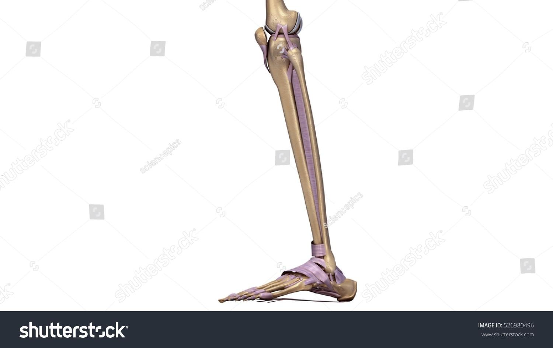 Skeleton Legs Ligaments Side 3 D Illustration Stock Illustration