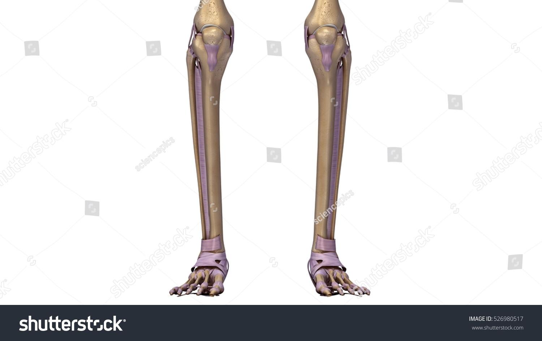 Skeleton Legs Ligaments Front 3 D Illustration Stock Illustration