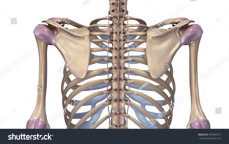 Skeleton Shoulder Joints Ligaments Back 3 D Stock Illustration ...