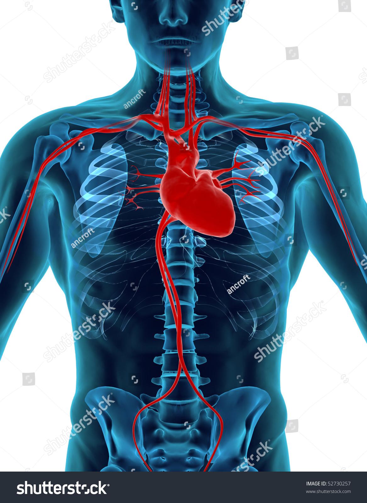 Human Heart Skeleton Stock Illustration 52730257 Shutterstock